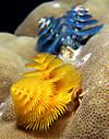 Spirobrancheus_giganteus